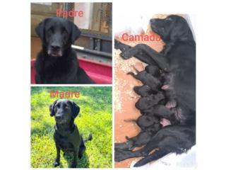 Puerto Rico Camada labrador retriever, Perros Gatos y Caballos