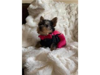 toy yorkie available They Puerto Rico