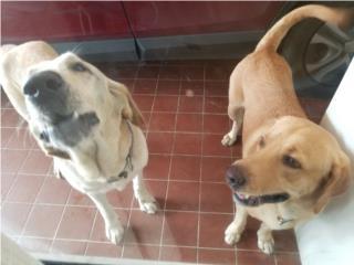 Puerto Rico Labradores para adopción, Perros Gatos y Caballos