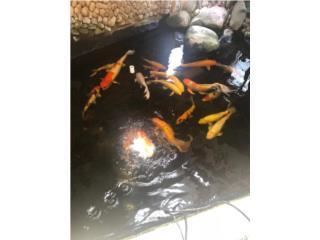 17 peces koi Grandes  Puerto Rico