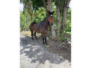 Yegua zaina  Puerto Rico