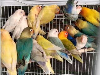 Lovebirds (solo texto o WhatsApp) Puerto Rico