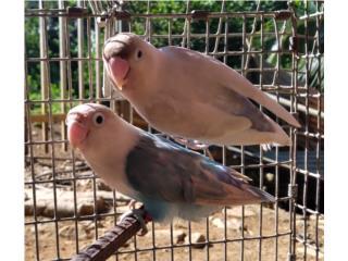 Preciosa pareja de Lovebirds  Puerto Rico