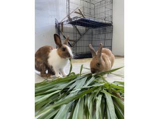 Pareja de conejos en adopción   Puerto Rico