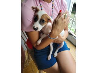Free puppies need caring home Puerto Rico