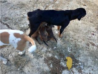 Se regalan bebes rod willer con pitpull Puerto Rico