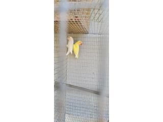 Pareja de lobird Puerto Rico
