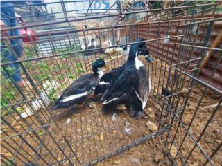 Patos de raza Puerto Rico