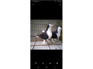 Palomas pinguinas Puerto Rico