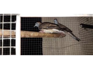 Se vende  pareja  de paloma  sebra  Puerto Rico