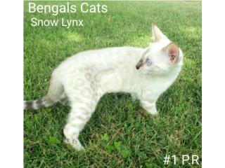 Bengals Cats Puerto Rico