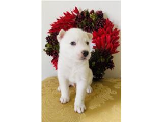 Siberian Husky (ojos azules, blanco, macho) Puerto Rico