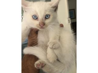 3 Hermosos gatitos mamá persa Puerto Rico