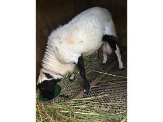 Precioso ovejo dolper $300 2 años Puerto Rico