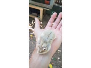 Hamster enanos ruso Puerto Rico