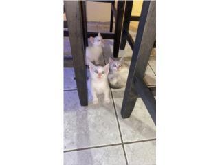 Regalando 3 gatitos  Puerto Rico