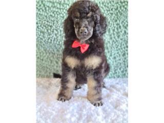 Puerto Rico Standard poodles-phantoms , Perros Gatos y Caballos