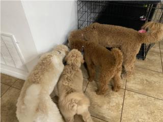 Puerto Rico Goldendoodle , Perros Gatos y Caballos