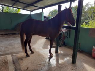 Excelente caballo paseo  Puerto Rico