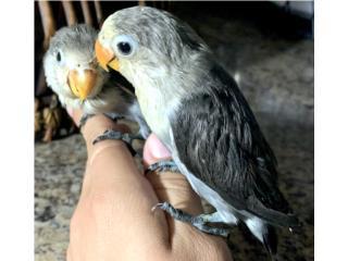 Lovebird Pied Slaty Mauve  Puerto Rico