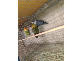 Pareja de love bird enmascarado $175 fijo  Puerto Rico