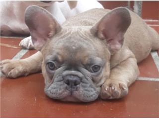 Puerto Rico BLUE FAWN FRENCHIE , Perros Gatos y Caballos