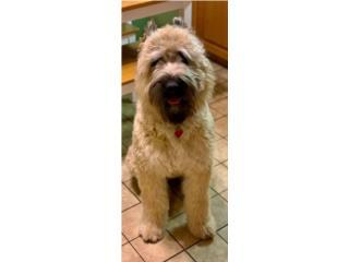 Puerto Rico Bouvier des Flandres puppies, Perros Gatos y Caballos