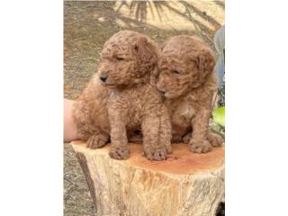 Clasificados Online Mascotas Goldendoodle MACHOS