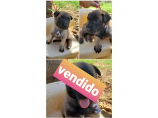 Puerto Rico Pastores Belga Malinois , Perros Gatos y Caballos