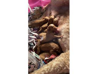 Puerto Rico Goldendoodle Machos, Perros Gatos y Caballos