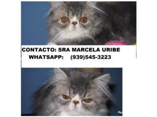 Hermosos gatitos raza persa, ojos azules Puerto Rico