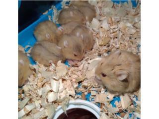 Hamster ruso enano  Puerto Rico