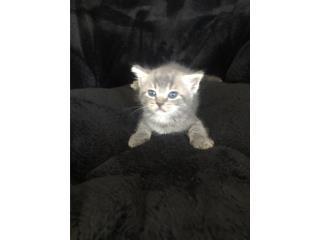 Regalo gatitos Siames & Persian Mix Puerto Rico