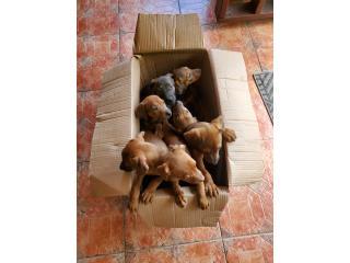 Se regalan perritos de 2 meses D.O.B. 2/11/21 Puerto Rico
