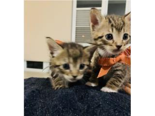 Se regalan gatitos bellos  Puerto Rico