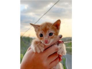 Gatito para Adopción  Puerto Rico