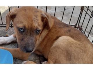Puppies Rescatados  Puerto Rico