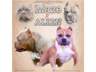 Clasificados Online Mascotas AMERICAN BULLY