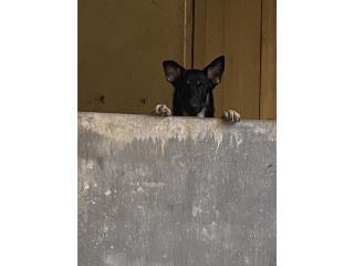 Clasificados Online Mascotas Busco Novio para mi Germán Shepherd