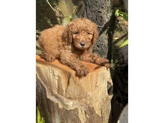 Puerto Rico Goldendoddle Macho, Perros Gatos y Caballos