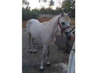 Vendo caballo corre bien es bueno  Puerto Rico