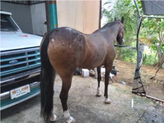 YEGUA APALUZA Puerto Rico