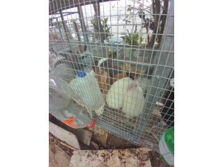 Conejos-41 NewZiland Puerto Rico