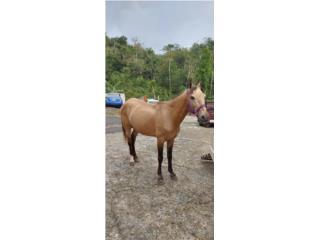 Caballo corto largo y andadura Puerto Rico