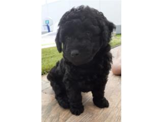 Puerto Rico Toy Poodle Negro Macho, Perros Gatos y Caballos