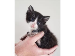 Hermosos Gatitos para adopción  Puerto Rico