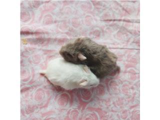 Hamsters Rusos Puerto Rico