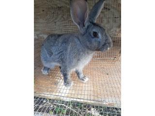 Se vende conejo gigante con Jaula comida y be Puerto Rico