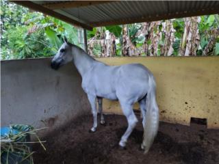 Se vende caballo de calidad  Puerto Rico