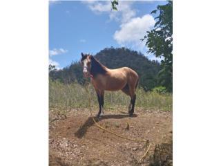 Caballo Manso  Puerto Rico